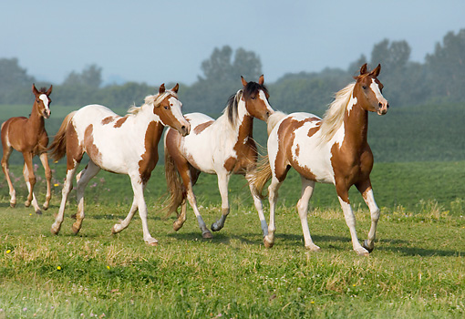 HOR 01 MB0173 01 © Kimball Stock Herd Of Pinto Arabians Running In Pasture
