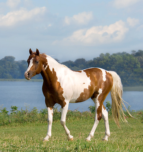 HOR 01 MB0174 01 © Kimball Stock Pinto Arabian Walking In Pasture By Lake