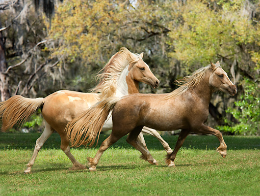 HOR 01 MB0177 01 © Kimball Stock Pinto Arabian And Welsh Pony Running In Pasture