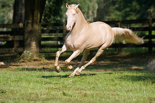 HOR 01 MB0184 01 © Kimball Stock Cremello Morgan Stallion Cantering In Pasture