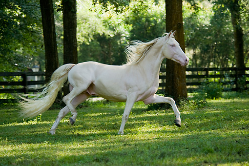 HOR 01 MB0185 01 © Kimball Stock Cremello Morgan Stallion Trotting In Pasture