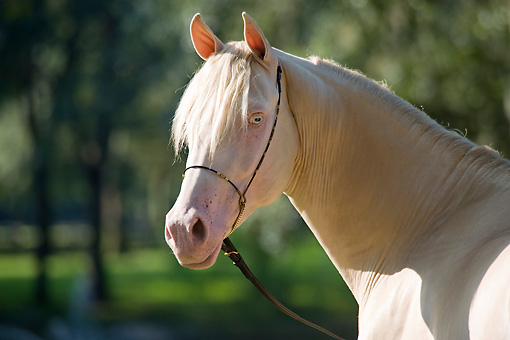 HOR 01 MB0187 01 © Kimball Stock Head Shot Of Cremello Morgan Stallion