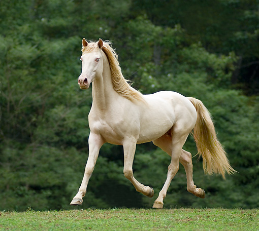 HOR 01 MB0190 01 © Kimball Stock Cremello Rocky Mountain Horse Trotting In Pasture