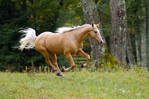HOR 01 MB0195 01 © Kimball Stock Palomino Horse Cantering In Pasture
