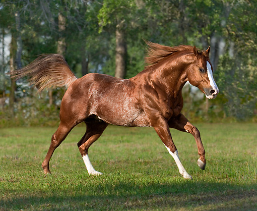 HOR 01 MB0196 01 © Kimball Stock Red Roan Quarter Horse Stallion Cantering In Pasture