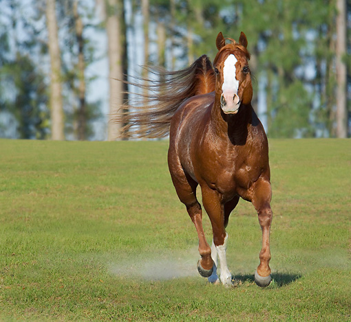 HOR 01 MB0198 01 © Kimball Stock Red Roan Quarter Horse Stallion Cantering In Pasture