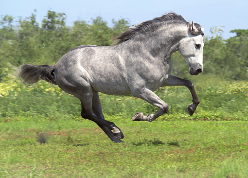 HOR 01 MB0200 01 © Kimball Stock Dapple Gray Andalusian Stallion Galloping In Pasture