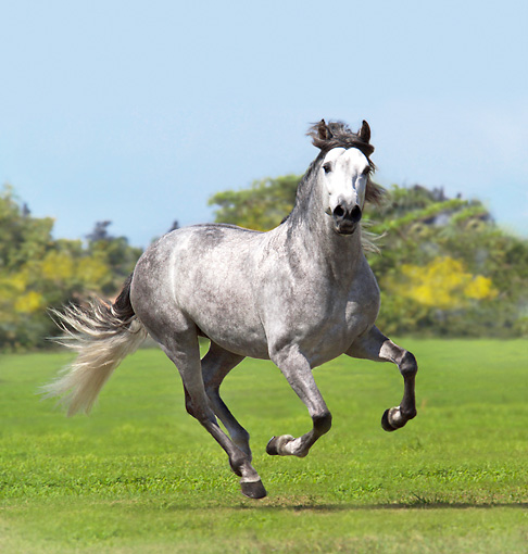 HOR 01 MB0201 01 © Kimball Stock Dapple Gray Andalusian Stallion Galloping In Pasture