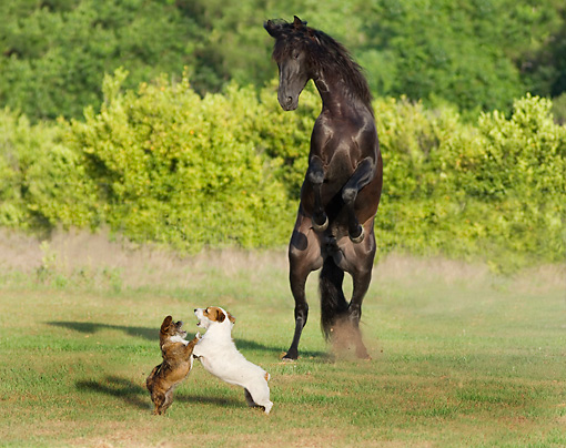 HOR 01 MB0202 01 © Kimball Stock Black Andalusian Stallion Rearing By Two Dogs Fighting In Pasture