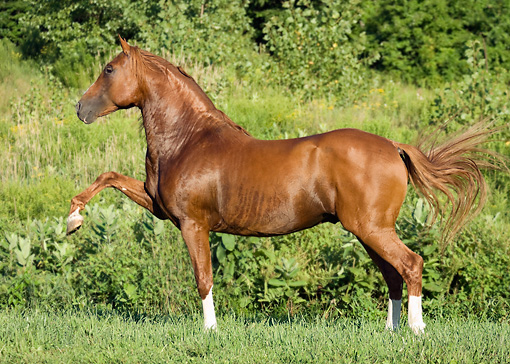 HOR 01 MB0204 01 © Kimball Stock Chestnut Andalusian Stallion Walking In Pasture