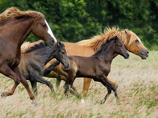 HOR 01 MB0205 01 © Kimball Stock Paso Fino Mares And Foals Trotting In Pasture