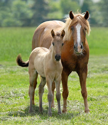 HOR 01 MB0206 01 © Kimball Stock Paso Fino Mare And Foal Standing In Pasture