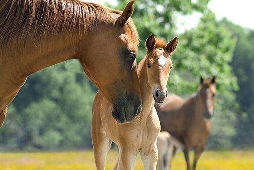 HOR 01 MB0208 01 © Kimball Stock Paso Fino Mare And Foal Standing In Pasture