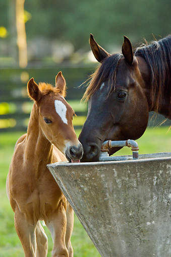 HOR 01 MB0211 01 © Kimball Stock Quarter Horse Mare And Foal Standing In Pasture Drinking From Water Trough