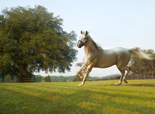 HOR 01 MB0215 01 © Kimball Stock Gray Thoroughbred Stallion Trotting In Pasture