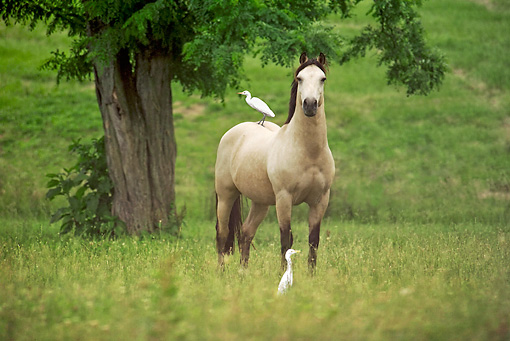 HOR 01 MB0218 01 © Kimball Stock Buckskin Mustang Stallion Standing In Field With Cranes