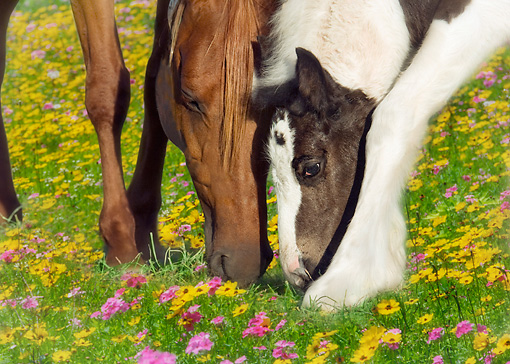 HOR 01 MB0219 01 © Kimball Stock Chestnut Mare And Gypsy Vanner Foal Grazing In Pasture Of Flowers
