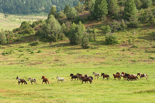 HOR 01 MB0221 01 © Kimball Stock Herd Of Horses Cantering In Field