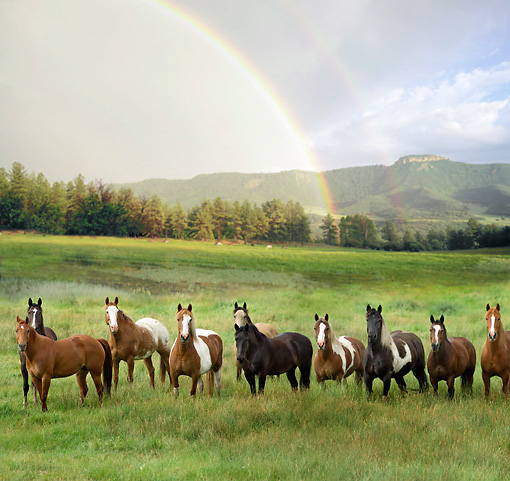 HOR 01 MB0223 01 © Kimball Stock Herd Of Horses Standing In Field Under Rainbow