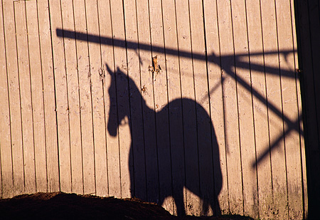 HOR 01 MR0001 01 © Kimball Stock Shadow Against Barn Of Race Horse Golden Gate Field
