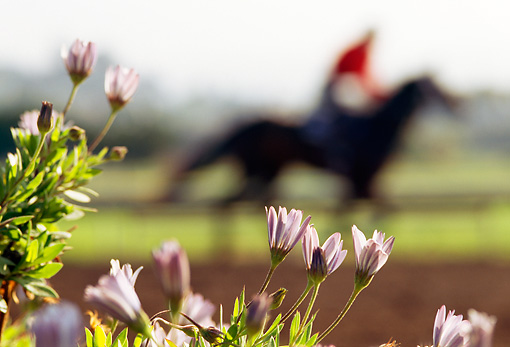 HOR 01 MR0003 01 © Kimball Stock Profile Of Jockey Riding Racehorse Purple Flowers Foreground