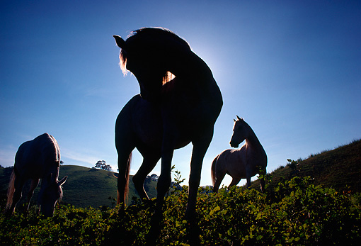 HOR 01 RC0001 01 © Kimball Stock Silhouette Of Three Horses Standing On Hill Blue Sky