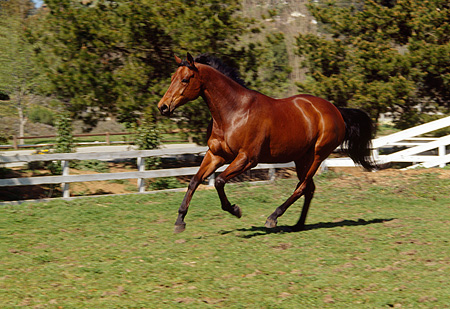 HOR 01 RK0037 11 © Kimball Stock Bay Stallion Galloping In Green Field By White Fence And Trees