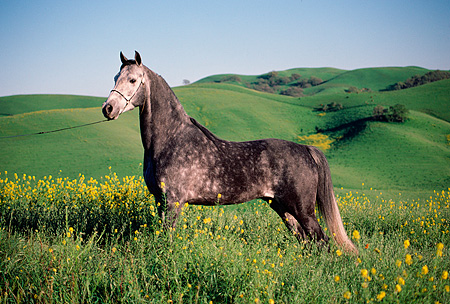 HOR 01 RK0046 01 © Kimball Stock Dapple Gray Arabian Horse Standing On Green Pasture With Yellow Flowers