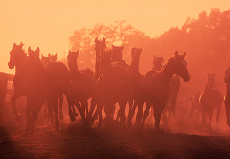 HOR 01 RK0073 08 © Kimball Stock Group Of Horses Running Together Towards Camera On Dirt Causing Dust At Dusk
