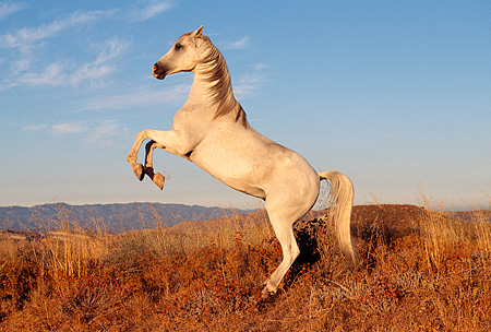 HOR 01 RK0083 17 © Kimball Stock Profile Shot Of Arabian Horse Rearing On Dry Bushes Blue Sky At Dusk