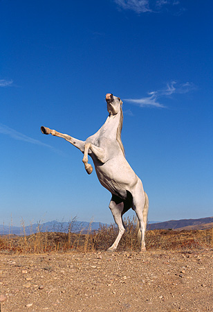 HOR 01 RK0089 94 © Kimball Stock Gray Arabian Horse Rearing On Dirt Blue Sky