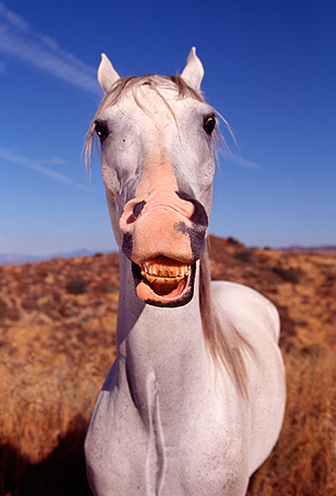 HOR 01 RK0106 57 © Kimball Stock Humorous Wide Angle Shot Of Arabian Horse Laughing Blue Sky