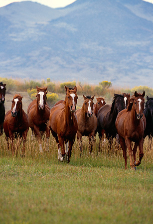 HOR 01 RK0123 01 © Kimball Stock Herd Of Horses Galloping On Grass Towards Camera