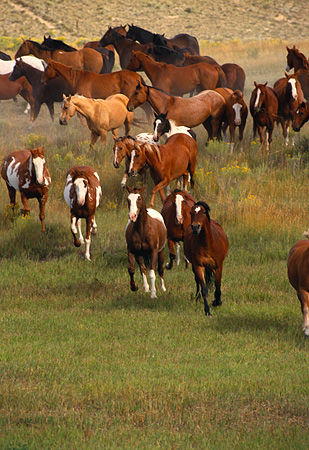 HOR 01 RK0123 04 © Kimball Stock Herd Of Horses Galloping On Grass Towards Camera