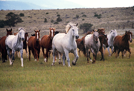 HOR 01 RK0123 24 © Kimball Stock Herd Of Horses Galloping On Grass Towards Camera