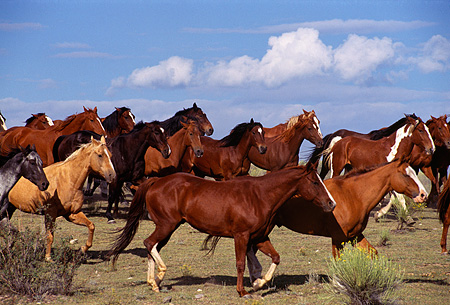 HOR 01 RK0131 27 © Kimball Stock Herd Of Horses Galloping Together On Field With Bushes Blue Sky