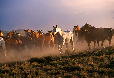 HOR 01 RK0132 04 © Kimball Stock A Herd Of Horses Galloping Down Dirt Hill Making Dust Cloudy Gray Skies