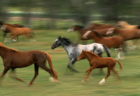 HOR 01 RK0138 03 © Kimball Stock Blurry Profile Of A Herd Of Horses Galloping On Grass
