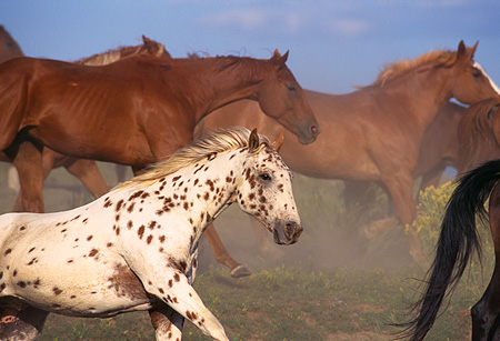 HOR 01 RK0155 02 © Kimball Stock Side Shot Of A Herd of Horses Galloping Fast Together