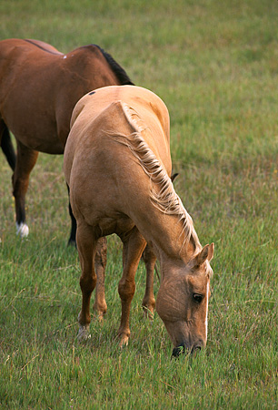HOR 01 RK0168 07 © Kimball Stock Palomino And Bay Horses Eating Grass