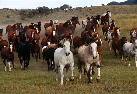 HOR 01 RK0179 09 © Kimball Stock Herd of Horses Running Toward Camera