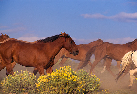 HOR 01 RK0182 01 © Kimball Stock Profile Shot Of Horses Galloping On Dirt By Yellow Flower Bushes