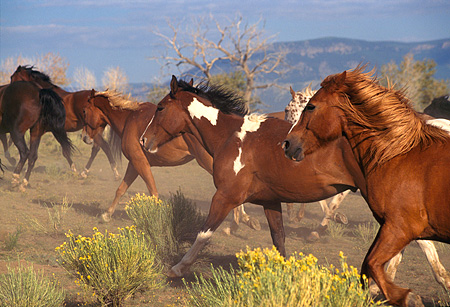 HOR 01 RK0250 01 © Kimball Stock Close Up Of Horses Galloping Through Dusty Field Of Bushes