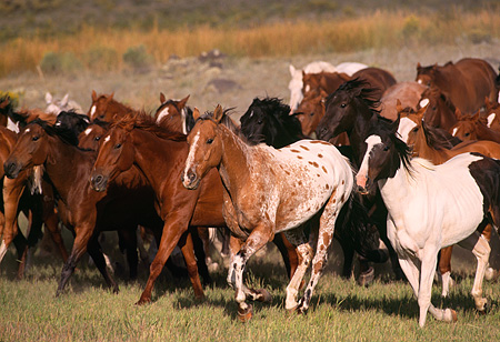 HOR 01 RK0276 11 © Kimball Stock Herd Of Horses Galloping Together On Grass