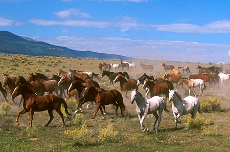 HOR 01 RK0286 06 © Kimball Stock Herd of Horses Cantering Across Plain