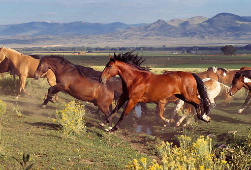 HOR 01 RK0304 02 © Kimball Stock Profile Shot Of Herd Of Horses Galloping And Jumping On Pasture