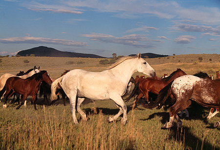 HOR 01 RK0345 13 © Kimball Stock Herd of Horses Galloping Together On Grass Blue Cloudy Sky At Dusk