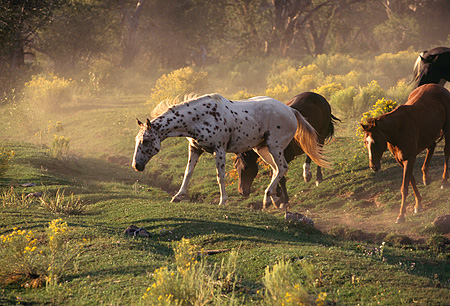 HOR 01 RK0351 03 © Kimball Stock Profile Shot Of A Herd Of Horses Trotting On Dirt Field Of Yellow Flower Bushes Making Dust