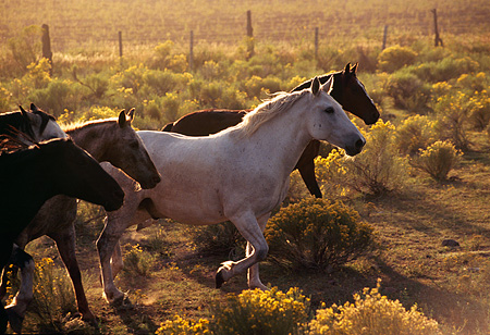 HOR 01 RK0351 07 © Kimball Stock Profile Shot Of A Herd Of Horses Trotting On Dirt Field Of Yellow Flower Bushes Making Dust