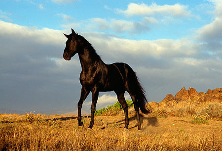 HOR 01 RK0394 16 © Kimball Stock Black Quarter Horse Standing On Dry Grass